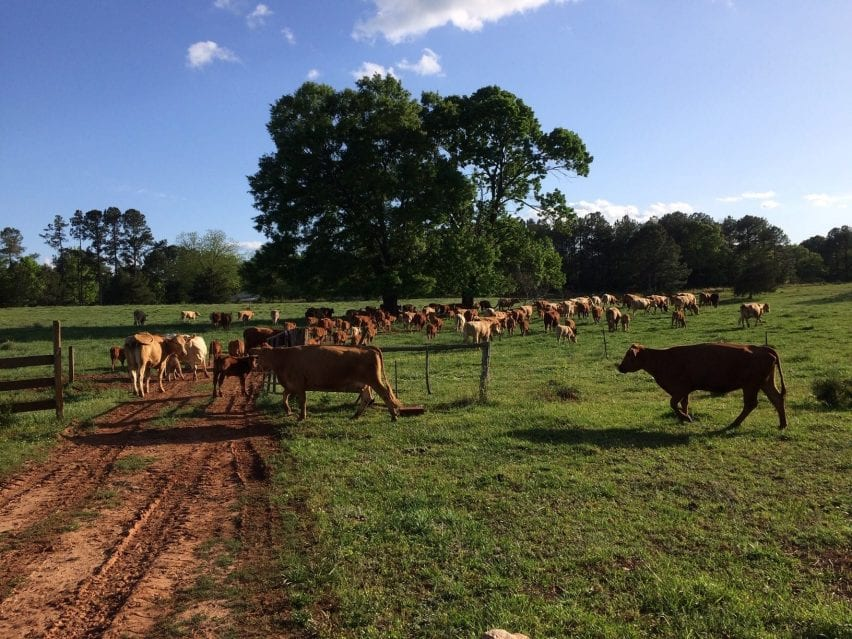 West Ridge Farm cattle